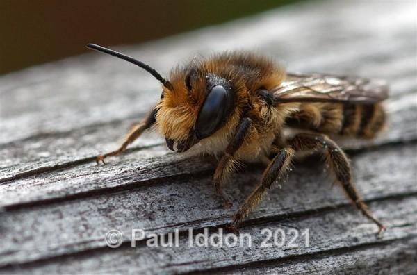 Young Bee - Macro