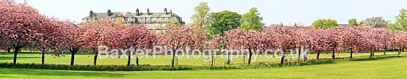 *A best seller. Cherry-Blossom Walk. - Harrogate Town