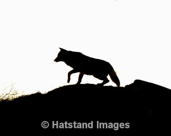 Wolf - nature