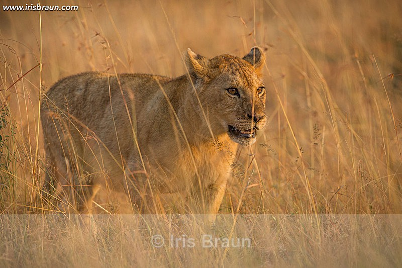 Sunrise Cub - Lion