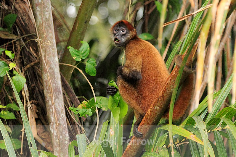 Spider Monkey eating a leaf while sat in a tree at Tortuguero - Monkey
