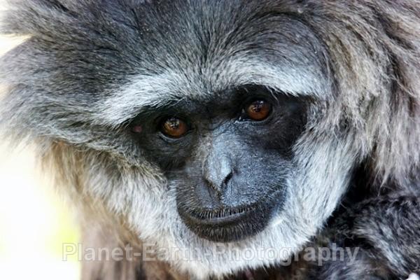Javan Gibbon 1 - Primates