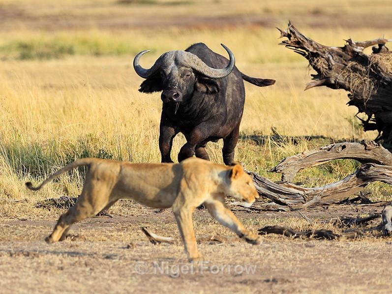 Buffalo charges a Lion in the Masai Mara, Kenya - Buffalo