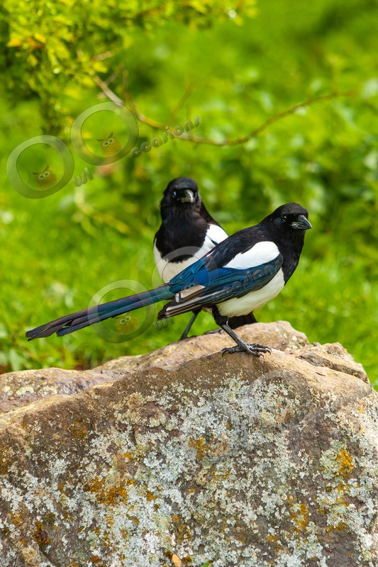 Magpie Pica pica 7208 - UK birds