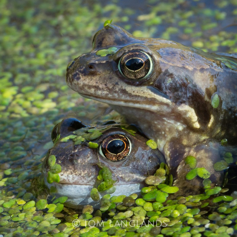 Common Frog - Reptiles and Amphibians