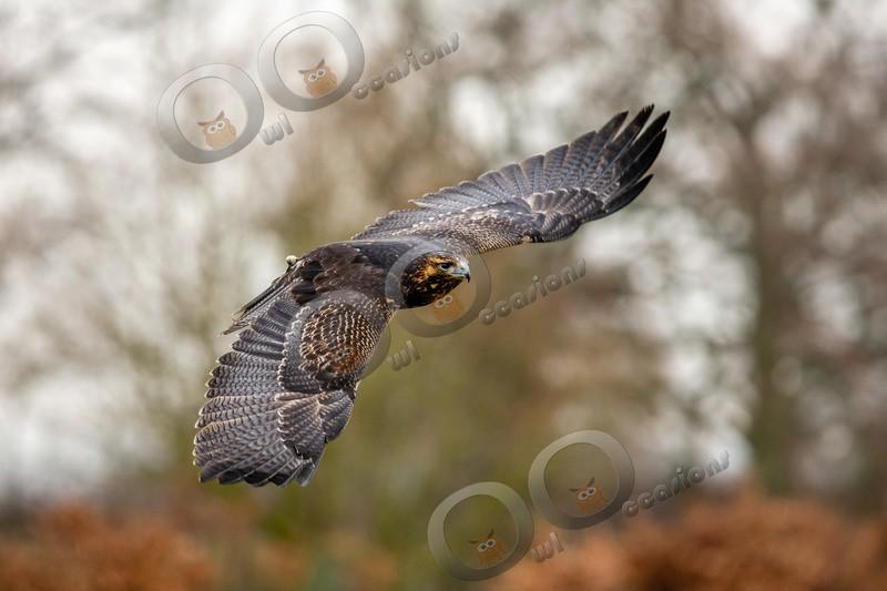 grey buzzard eagle geranoaetus melanoleucus-1117 - BoP from around the world