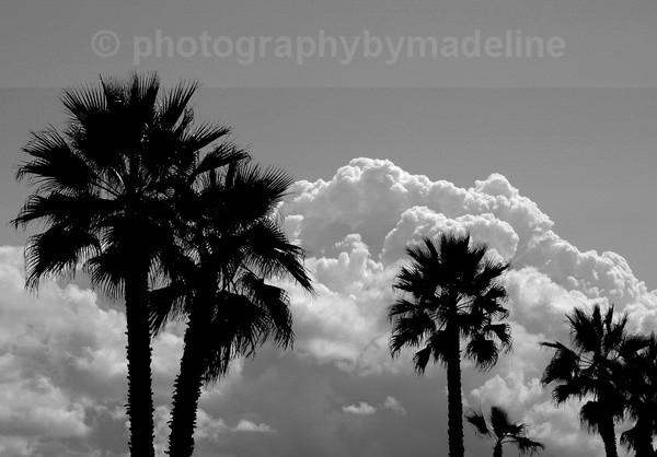 Palm Trees - Trees