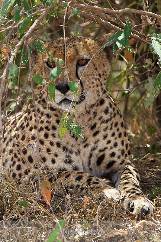 Cheetah sheltering from the hot sun - Cheetah