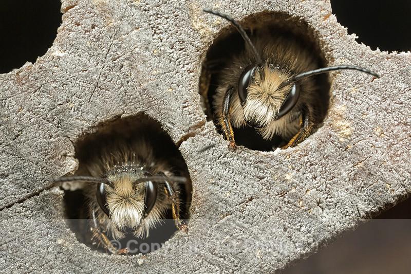 Osmia bicornis (m) - Osmia bicornis (rufa)