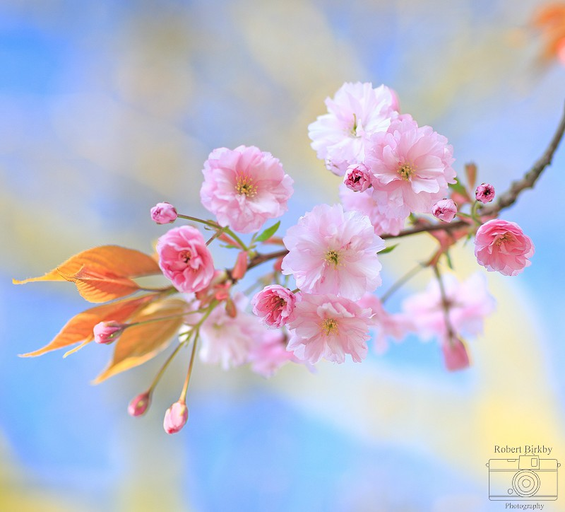 Cherry Blossom - Abstract, Macro & Miscellaneous