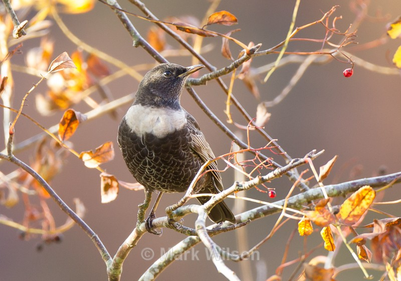 Ring Ouzel - Elan Valley - The rest.....