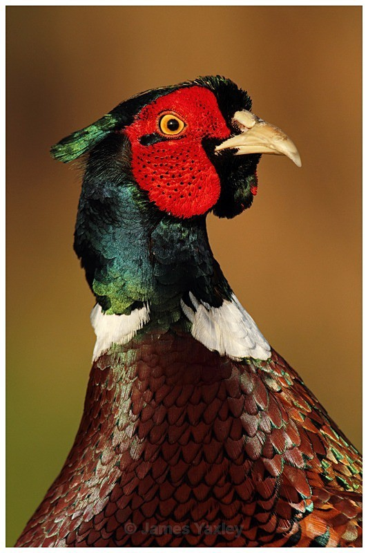 Regal Pheasant - The British Wildlife Photography Awards 2009 to 2014