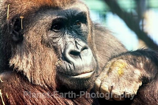 Lowland Gorilla - Primates