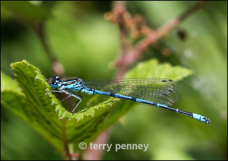 Damselfly - Common Blue - Insects & Spiders