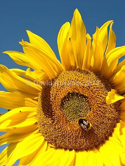 Sunflower - Gardens & plants