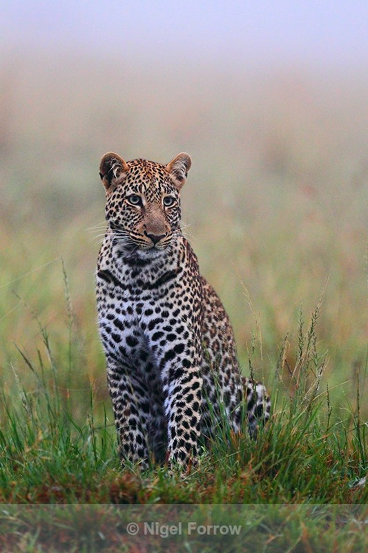 Leopard in the morning mist - Leopard