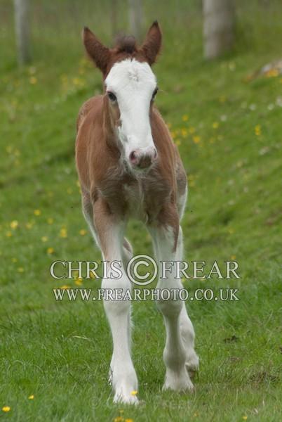 ryecroft-16 - Clydesdales 2013 Include Foals