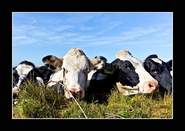 Inquisitive Cows - Cornwall
