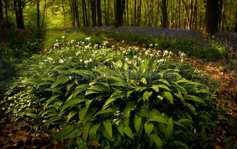 Wild Garlic and Bluebells - Latest Work