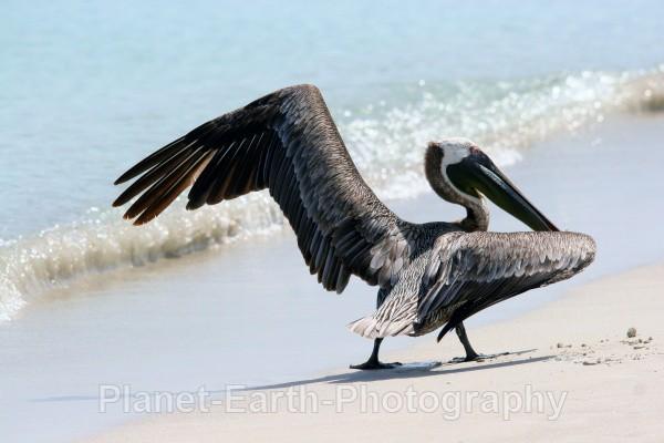 Pelican 1 - Cuba
