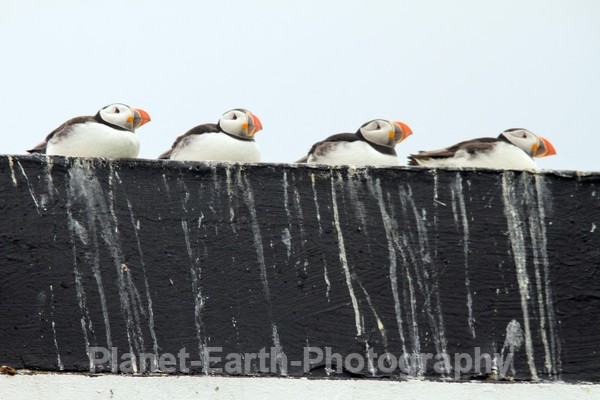 A Row Of Puffins - Puffins