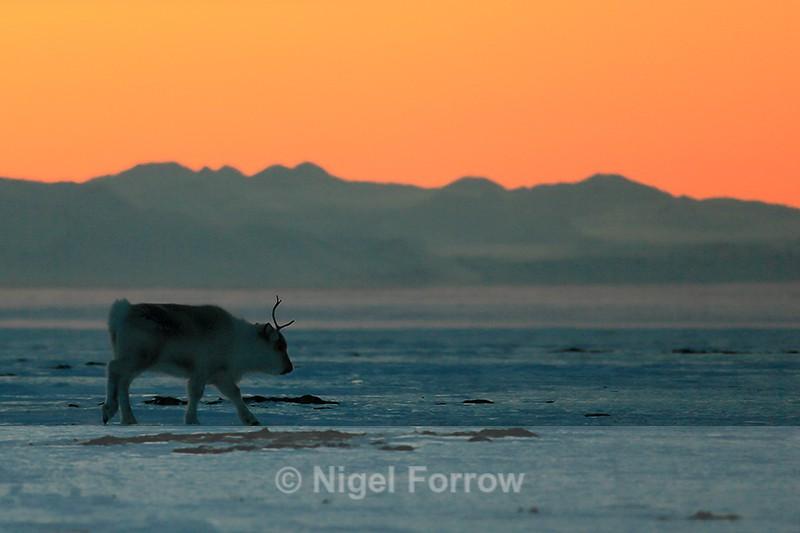 Reindeer at sunset, Svalbard, Norway - Reindeer