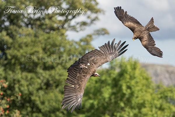 muncaster-34 - Birds of Prey