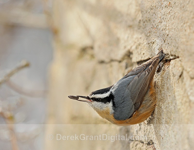 Red-breasted Nuthatch - Birds of Atlantic Canada