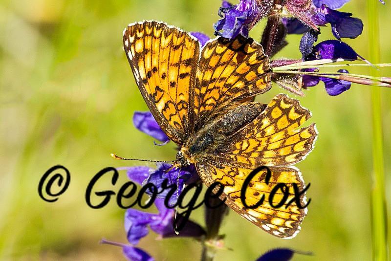 Fritillary 04 - Vercors Butterflies