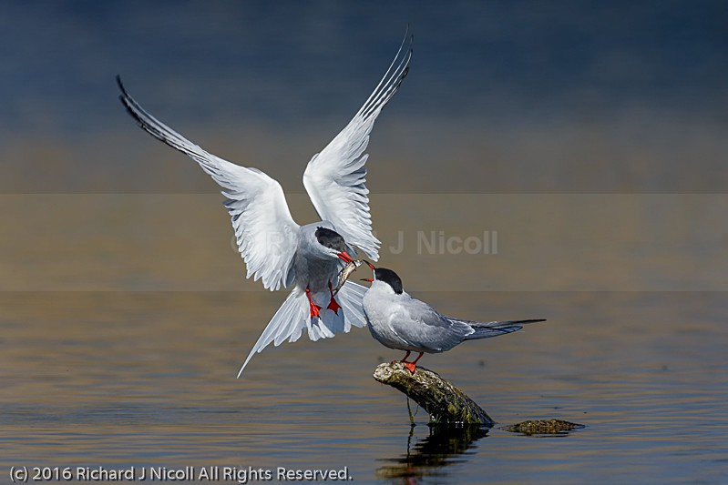 Common Tern (Sterna hirundo) courtship - Common Tern (Sterna hirundo)