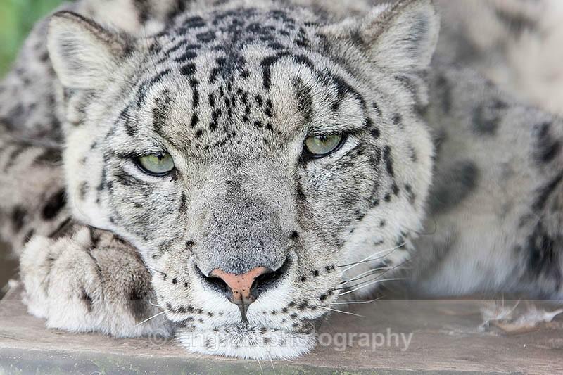 Thoughtfull Snow Leopard-R3889 - Animals (Fauna)
