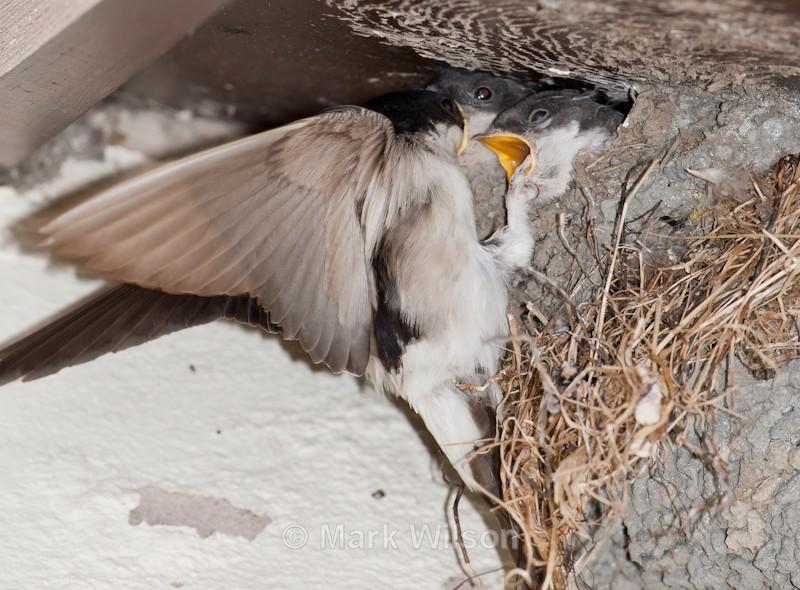 House Martin nest & chicks - Mid Wales - Hirundines