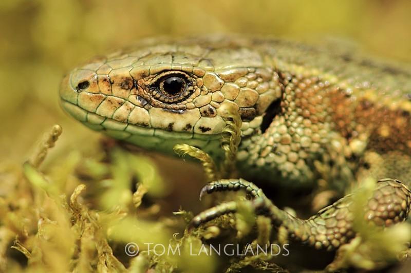 Common Lizard - Reptiles and Amphibians