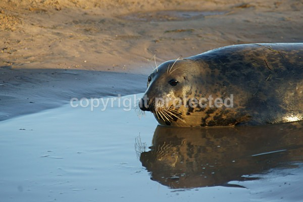 Grey Seal With Reflection (Donna Nook) - 2764 - Donna Nook
