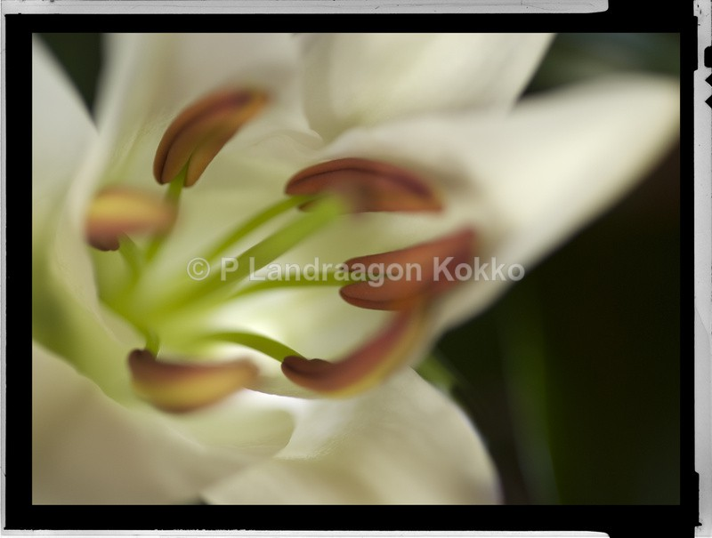 Lily 2 - Natural World
