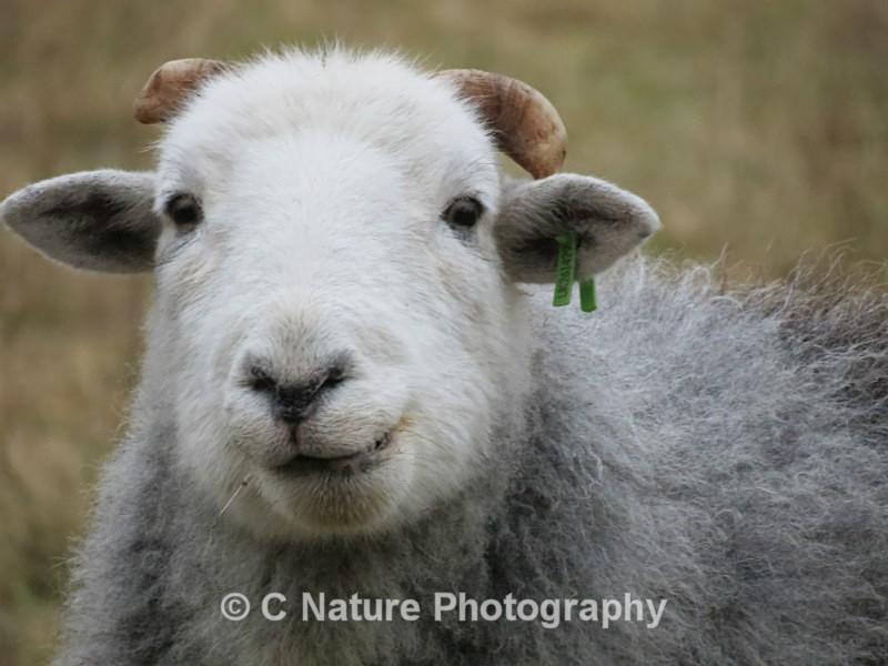 Looking Sheepish - Animals
