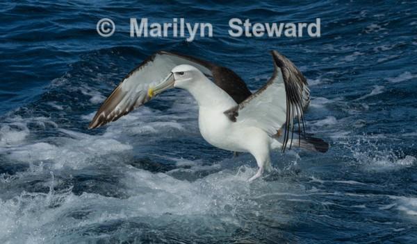 White-capped albatross landing - Exhibition acceptances