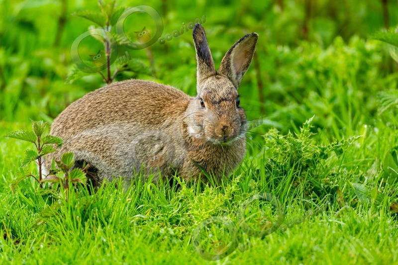 wild rabbit Oryctolagus cuniculus-4386 - UK Wildlife