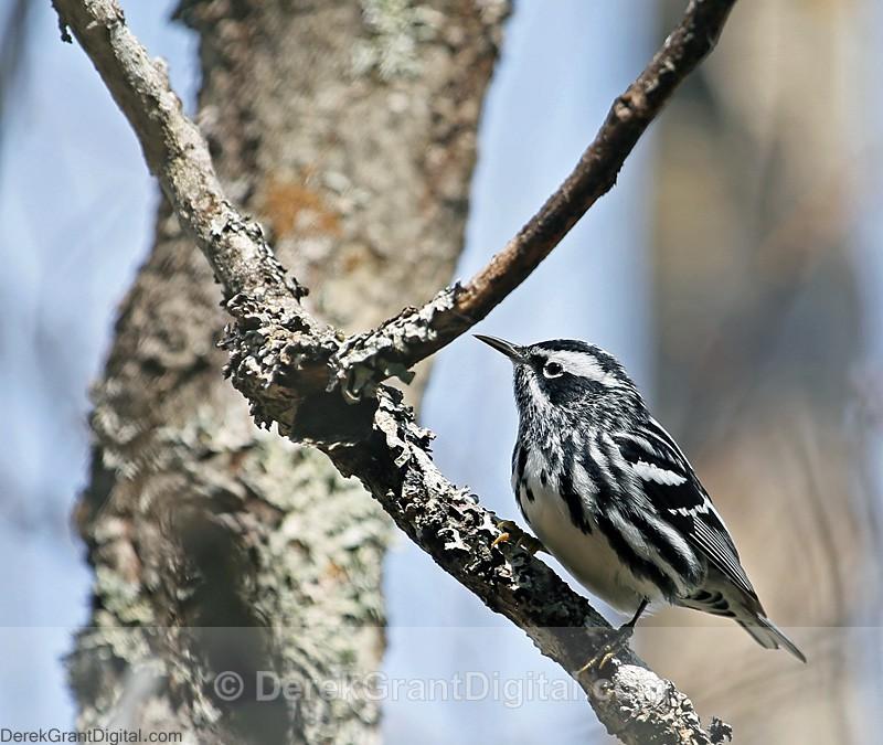 Black & White Warbler - Birds of Atlantic Canada
