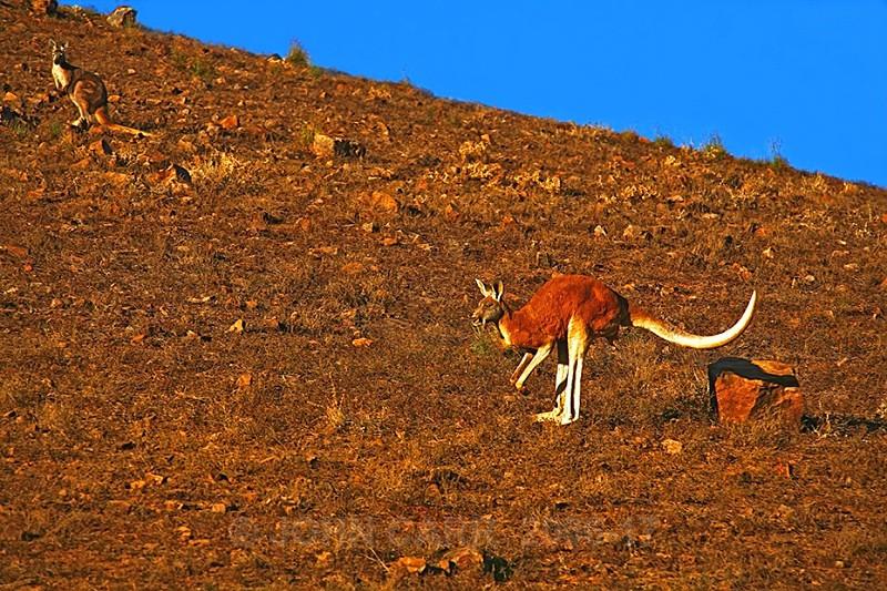 Red Kangearoo Rock Leap 2 - ANIMAL AND BIRD PHOTOS