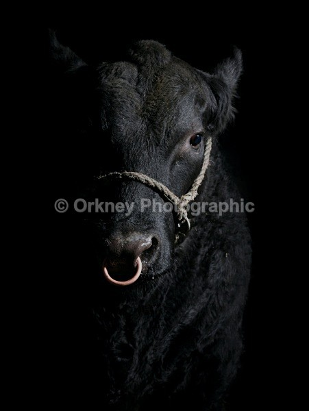 Aberdeen Angus9653 - Orkney Images