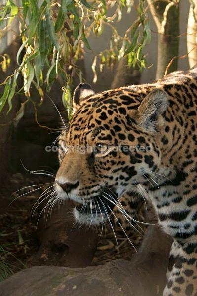 Jaguar - Jags - Cat Survival Trust - Big and Small Wild Cats