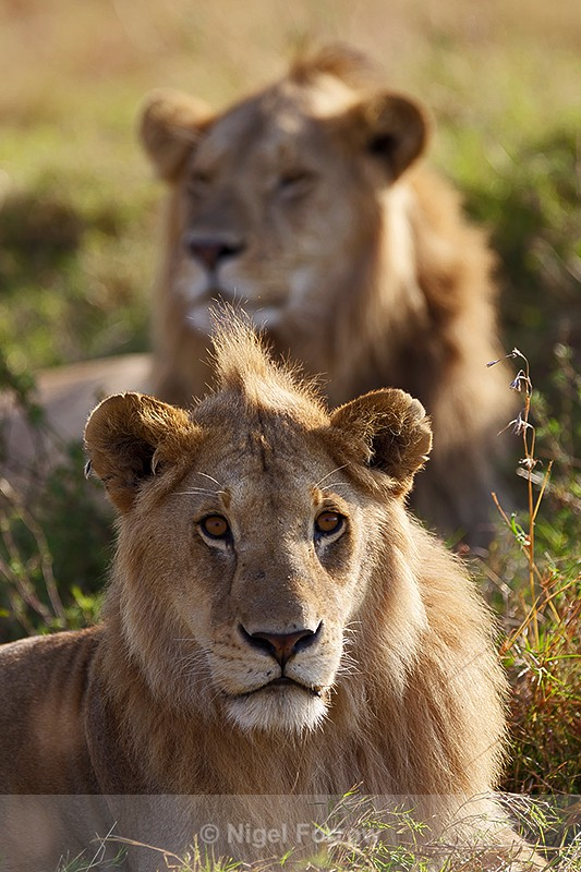 Young Lions resting in the grass in the Masai Mara - Lion