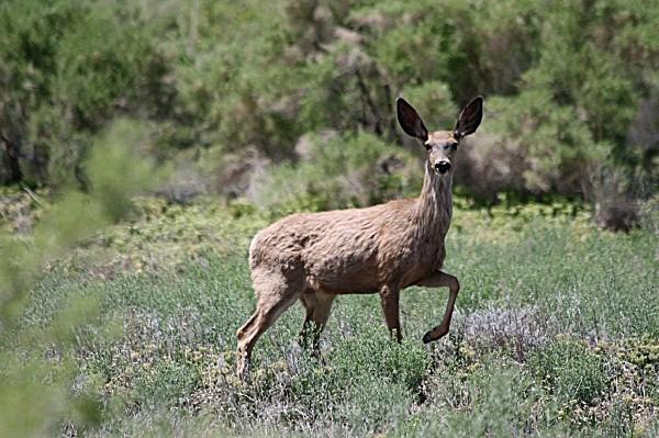 Mule Deer - 'Wildlife' (Big & Small)