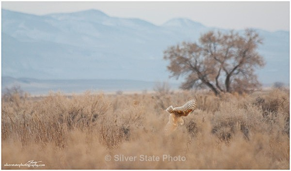 Barn Owl - diving for dinner - Nevada Birds