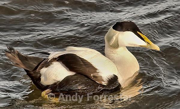 Eider - Birds