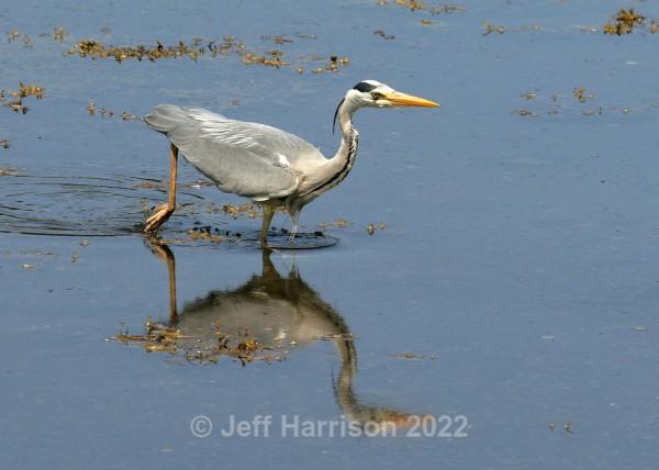 Grey Heron (image GH 01) - Herons & Egrets