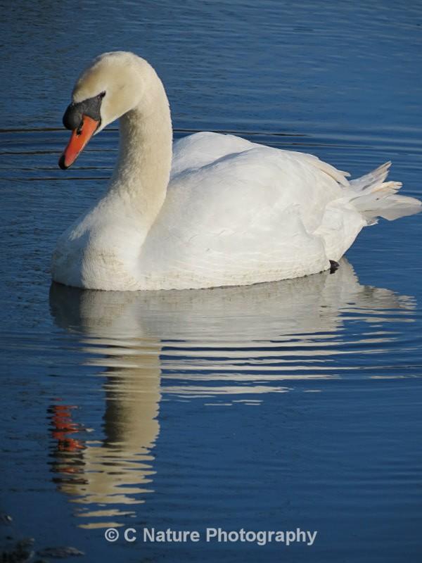 Mute Swan Reflection - Birds