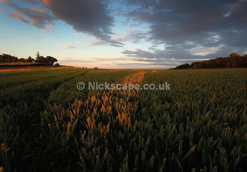 Corn Fields in Rural Warwickshire | Warwickshire Galleries