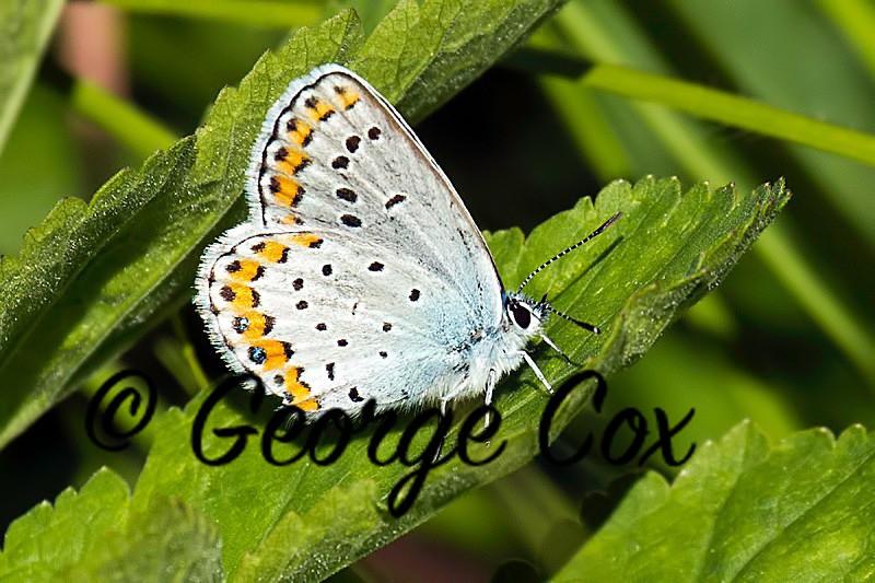 Silver Studded Blue - Vercors Butterflies